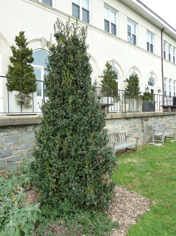 Buxus sempervirens'Dee Runk' (1) JWC