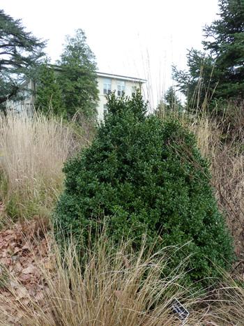 Buxus sempervirens'Longwood' (1) JWC
