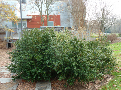 Buxus sempervirens'Vardar Valley' (1) JWC