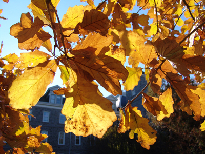 DSC04532 Quercus bicolor rob kiosk fall leaves