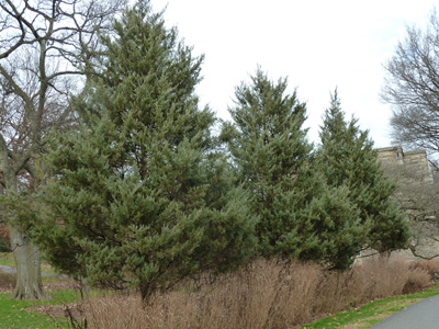Juniperus virginiana 'Burkii' (3) JWC