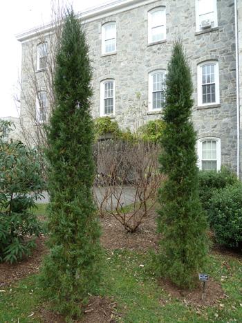 Juniperus virginiana 'Taylor' (1) JWC