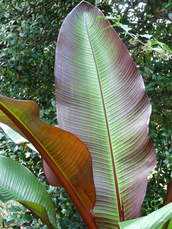Ensete ventricosum 'Maurelii' leaf (1) JWC