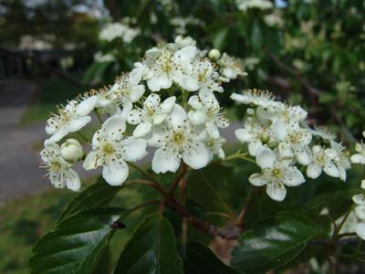 Sorbus alnifolia TJR