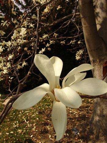 Magnolia denduata 'Swarthmore Sentinel' photo credit: R. Robert
