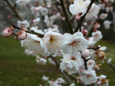 Prunus mume'Fragrant Snow' bloom detail (2) JWC