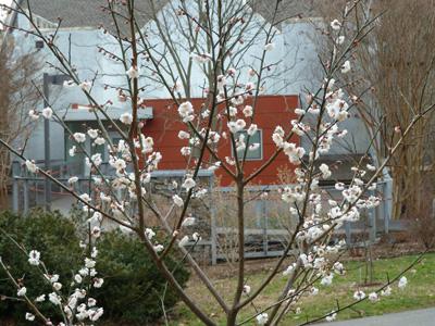 Prunus mume'Fragrant Snow' toward Old Tarble (1) JWC