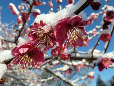 Prunus mume 'Kobai' with snow (1) JWC
