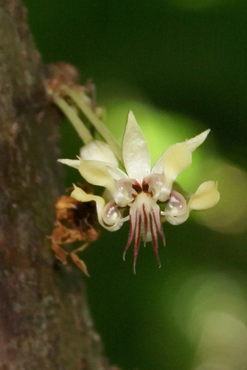 Theobroma_cacao_flowerCC