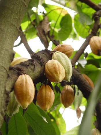 cacao_pods_creditCC