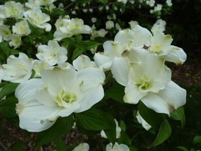 Cornus florida 'Pluribracteata' bloom detail (1) JWC