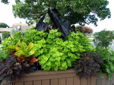 Solenostemon 'Wasabi' is making a statement in this container. photo credit: J. Coceano