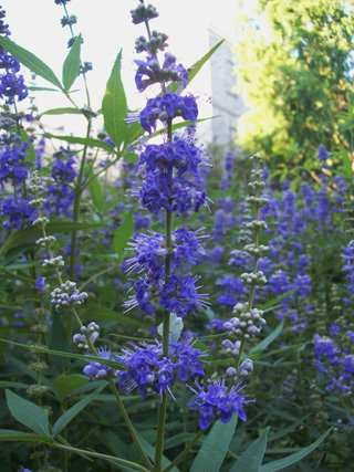 [Image: Vitex-agnus-castus-Mississippi-Blues-flower.jpg]
