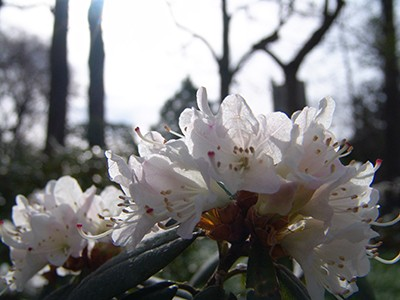 Rhododendron'Montchanin' JTB [1]