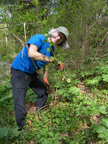 Sandy Whipple, volunteer, continued the effort to control invasives in the Crum Woods, including the now in bloom, garlic mustard (Alliaria petiolata.) photo credit: R. Robert