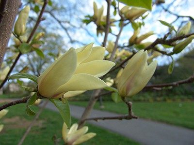 Of the new yellow magnolias planted this month, Magnolia 'Lemonade' is Andrew's favorite. photo credit: R. Robert