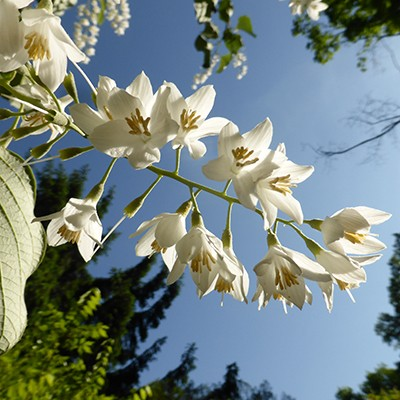 Racemes of fragrant white flowers bloom in mid-May.  photo credit: J. Coceano