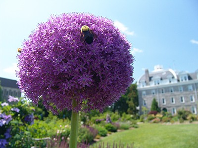 Allium 'Gladiator' attracts all types of pollinators and beneficial insects. photo credit: R. Robert