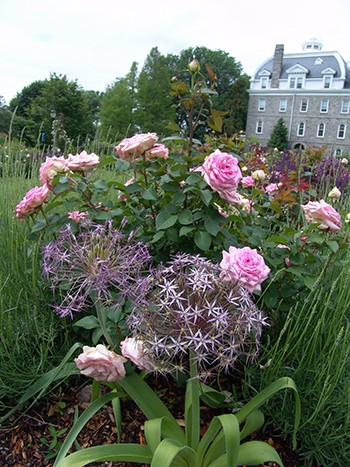 The low profile of Allium christophii combines well with roses in the Dean Bond Rose Garden. photo credit: R. Robert