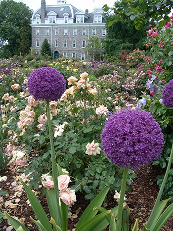 The purple of Allium 'Gladiator' compliments the colors various colors of rose blooms. photo credit: R. Robert
