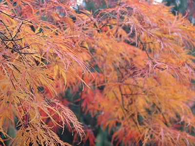 Acer palmatum's leaves have five, seven, or nine pointed lobes, and the leaf size and shape can vary. The fall color of Acer palmatum' Dissectum' is particular striking. photo credit: R. Robert