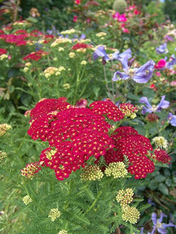 Achillea millefolium 'Pomegranate' has striking pomegranate colored flowers that bloom in dense, flattened clusters from June to September.  photo credit: R. Robert