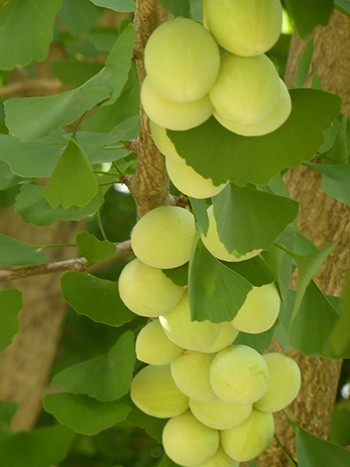 Ripening nuts of Ginkgo biloba 'Tubiformis'. photo credit: L. Lancaster