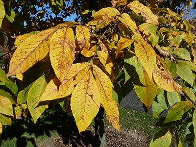 Carya ovata fall color detail (1) JWC