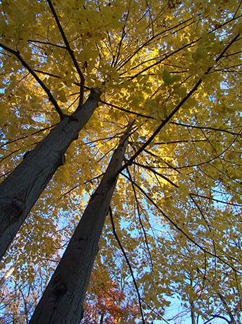 Tulip trees are often used as telephone poles due to their strong apical growth, which is a technical term that means the tree grows up, rather that out. photo credit: R. Robert