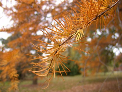 In fall, the needles of Pseudolarix amabilis turn gold or deep bronze. photo credit: R. Robert