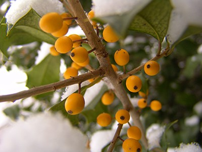 To add some variety to the berry colors in your garden, take a look at Ilex x attenuata 'Longwood Gold'. photo credit: R. Robert