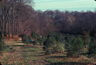 The James R. Frorer Holly Collection was planted along the edge of the Crum Woods in 1975. photo credit: Scott Arboretum Archives