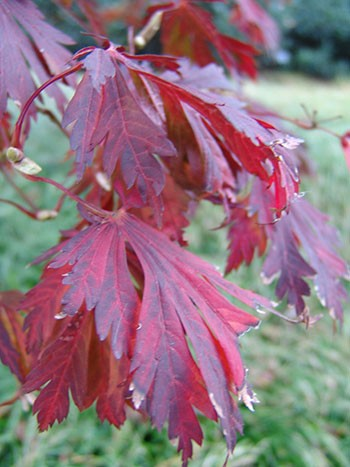 Acer japonicum 'Aconitifolium' lovely fall color makes it an delightful plant for ornamental landscapes. photo credit: R. Robert