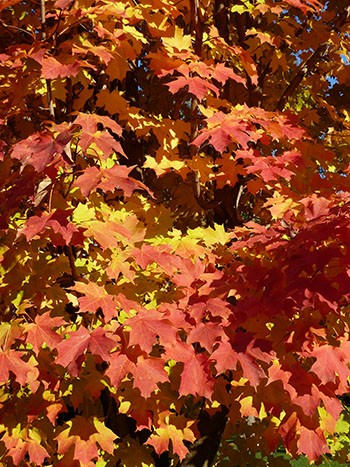 Acer saccharum 'Endowment' is endowed with striking fall color. photo credit: J. Coceano