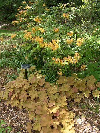 "Rhododendron 'My Mary' is putting on wonderful orange display in the Sibbett Garden where it is paired with the ""orange"" foliage of Heuchera 'Caramel'. photo credit: R. Robert"