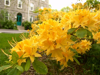 Rhododendron 'Sundance Yellow' is a profuse bloomer has a compact habit with deep-yellow, frilly flowers.