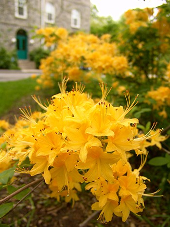 Deciduous azaleas, like Rhododendron 'Sundance Yellow', make great shrub layers in woodland gardens. photo credit: R. Robert