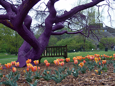 Tsuga canadensis Pendula Purpurea underplanted with Tulipa 'Prinses Irene' this spring. photo credit: R. Robert