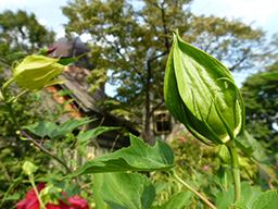 The flower bud of HIbiscus 'Lord Baltimore' will open for one day. photo credit: J. Bickel