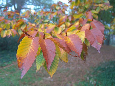 The dark green toothed leaves of Fagus grandifolia brighten to a golden bronze in the fall. photo credit: R. Robert