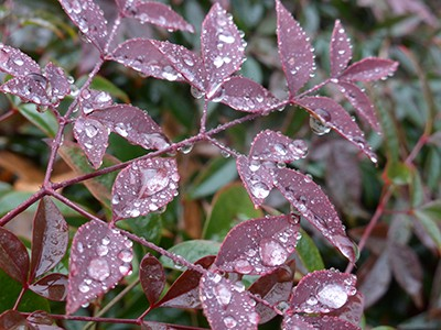 Nandina domestica FlirtTM 'Murasaki' new foliage with water drops (2) JWC