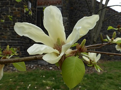 While Magnolia 'Elizabeth' is creamy white with subtle hints of yellow, the cultivar opened the door for subsequent introductions that feature bright yellow, golden-yellow, and orange flowers. photo credit: J. Coceano