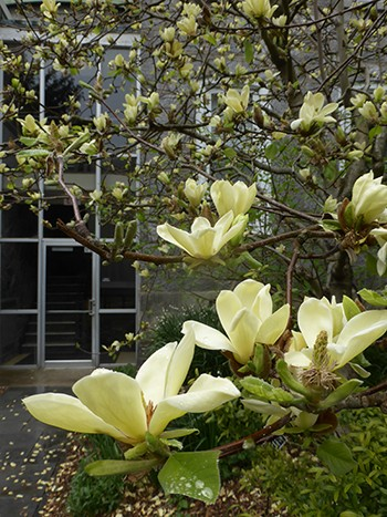Visit the Scott Arboretum to see our full collection of yellow magnolias, including M. 'Golden Gift'. photo credit: J. Coceano