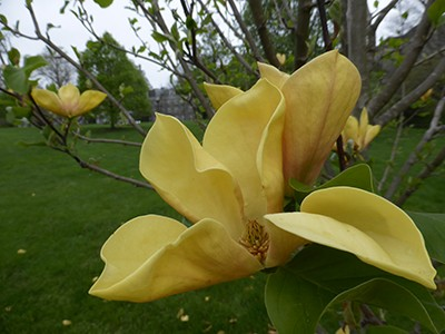 Magnolia 'Judy Zuk' is the most intensely colored of the yellow flowering varieties with tones that edge toward orange. photo credit: J. Coceano