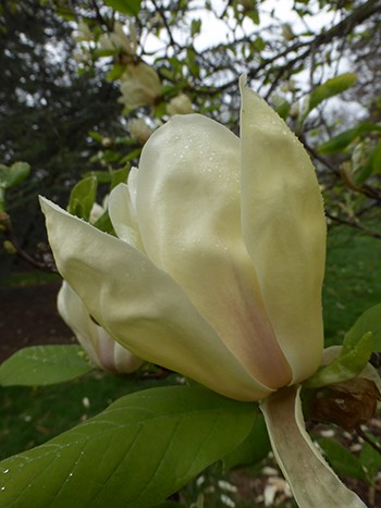 . Lightly fragrant, tulip-shaped, creamy yellow flowers bear light pink tinges at the base on Magnolia 'Yellow Lantern'. photo credit: J. Coceano
