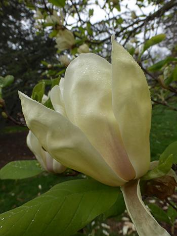 Yellow magnolias scott arboretum lightly fragrant tulip shaped creamy yellow flowers bear light pink tinges at mightylinksfo
