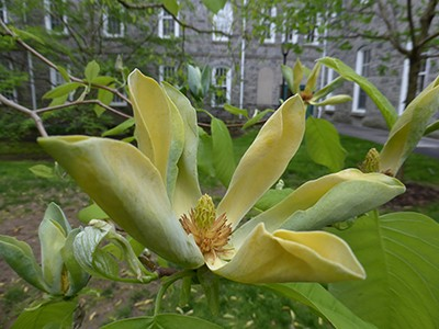 Small flowers, 3 – 4 inches, are held erect and range in color from blue-green to yellow on Magnolia acuminata. photo credit: J. Coceano