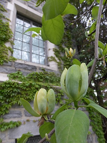 A distinctly yellow form, Magnolia acuminata f. aurea can be found in the southeastern United States and was considered the key to unlocking yellow flowering hybrids and cultivars. photo credit: J. Coceano