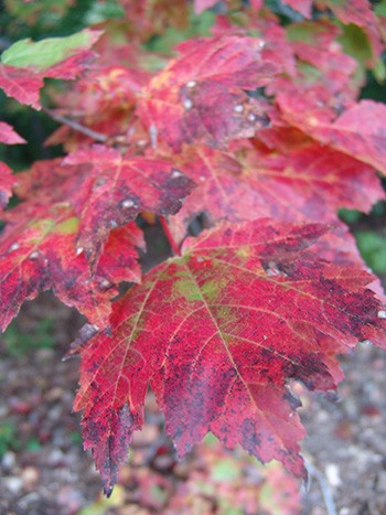 Another specie found in the Skunk Cabbage Hollow is Acer rubrum; seen here in fall color. photo credit: R. Robert