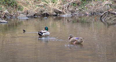 Mallards are often seen swimming in the shallow waters near the bank of Crum Creek. photo credit: R. Robert